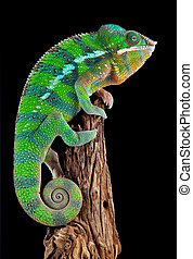 Chameleon on drift wood - A ambilobe panther chameleon male...