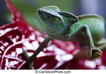 Chameleon on flower