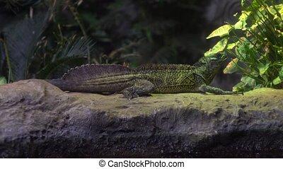 Chameleon on the rock 4K video clip