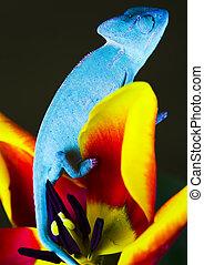 Chameleon on the tulip - Chameleons belong to one of the...