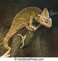 chameleon on tree close up