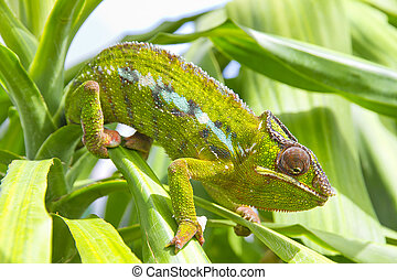 Chameleon - Closeup of a chameleon among the leaves of a...