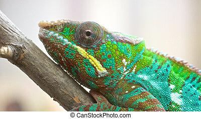 Chameleon Portrait 1