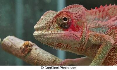 Chameleon Reptile Moving Eyes