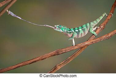Chameleon shoots out tongue - A baby Ambilobe Panther...