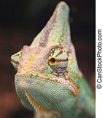 chameleon close up photo - vivid colored