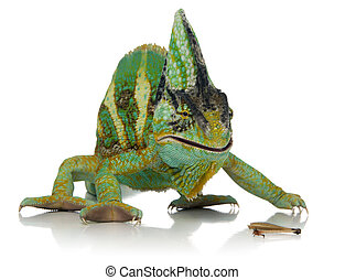 chameleon eating a cricket over white background