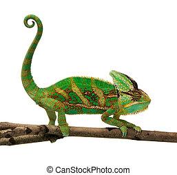 chameleon - isolated chameleon on a branch over white...