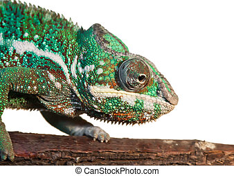 Chameleon - Beautiful photo of lizard Panther chameleon