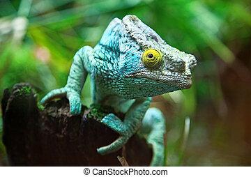 Chameleon - Giant madagascar chameleon on the tree