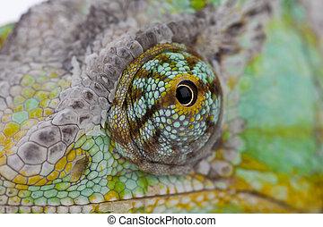Chameleon - Close-up of big chameleon sitting on a white...