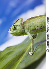 Chameleons belong to one of the best known lizard families....