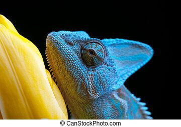 Chameleon - Beautiful big chameleon sitting on a tulip