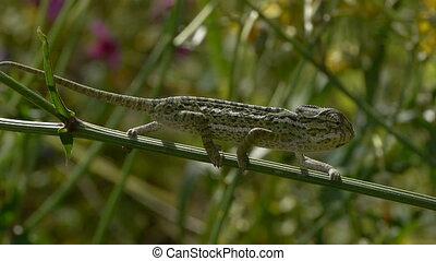 chameleon swaying