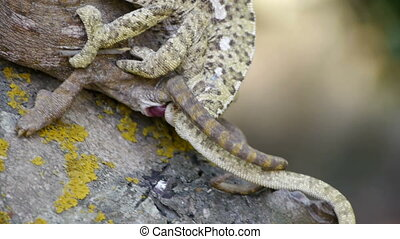 chameleons mating.
