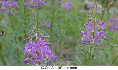 Chamerion angustifolium flowers in forest in summer on green...