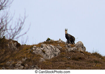 Chamois in the Bergamo mountains of northern Italy