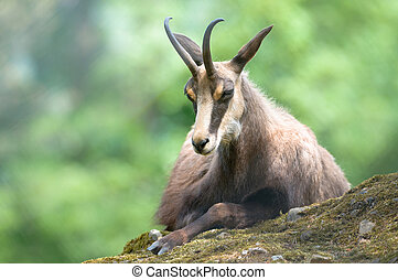 chamois (lat. rupicapra rupicapra) sitting on a rock