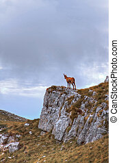 Chamois on the top of a rock