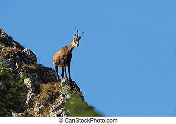 chamois on top of mountain ridge