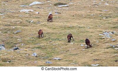 chamois, troupeau