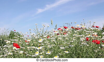 chamomile and poppies flower spring season