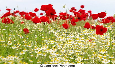 chamomile and poppy flower meadow