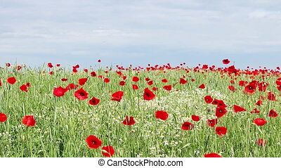 chamomile and poppy flowers meadow