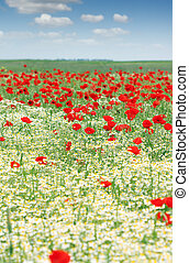 chamomile and poppy wild flower meadow