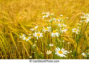 Chamomile at a field of barley in Germany