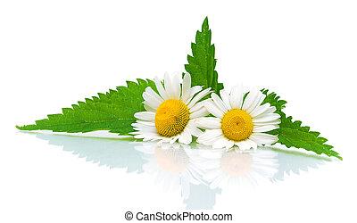 chamomile, bladeren, netel, achtergrond, witte bloemen