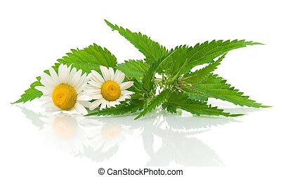 chamomile, bloemen, en, netel, bladeren, op, een, witte...