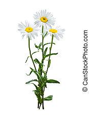 chamomile, bloemen, vrijstaand, op wit, achtergrond