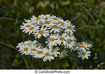 Chamomile blossoms in a forest glade.