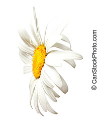 Chamomile. Close-up view