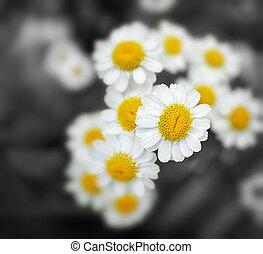 Chamomile - Delicate chamomile flowers closeup. Intention ...