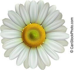 chamomile, eps10, wektor, kwiat, ilustracja