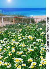 Chamomile field and green grass on a background of the sea. For the holidays.
