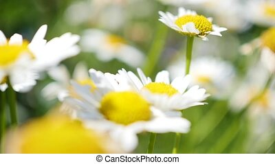 chamomile field close upchamomile field close up camera moving, turning the focus