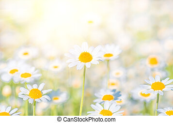 Chamomile field flowers border. background