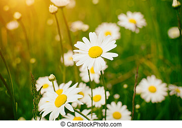 Chamomile field flowers border. Beautiful nature scene with blooming medical chamomilles in sun flare.