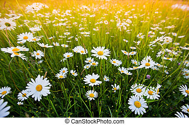 Daisy spring flowers field yellow and white meadow daisy stock chamomile field flowers spring daisy on meadow mightylinksfo