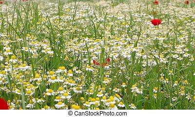 chamomile field spring season