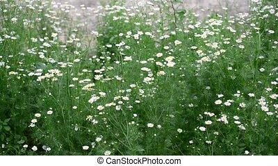 Chamomile field swaying in light breeze
