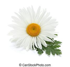 chamomile, flor, com, folhas