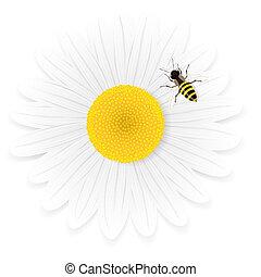 Chamomile flower and bee. - Chamomile flower and bee ...