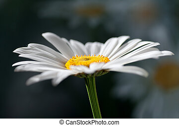 chamomile flower closeup with reflection on a dark background