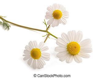 Chamomile flower head isolated on white background