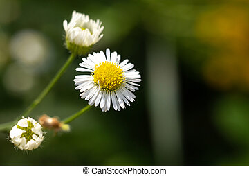 Chamomile flower in the forest