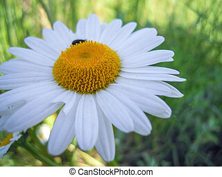 Chamomile flower in the meadow - The chamomile plant is...